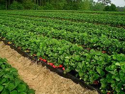 plantatie de goji